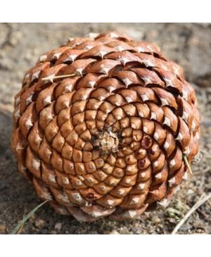 Labai didelis kankorėžis 13-16 cm ilgio